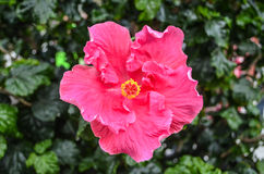 Red Hibiscus closed up pollen angle Royalty Free Stock Photo