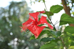 Red hibiscus. A closeup of a red hibiscus with stamen and pistil stock photos