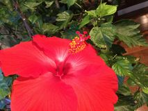 Red Hibiscus. Dream in technicolor Royalty Free Stock Photo