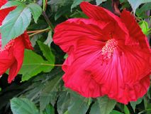 Red Hibiscus family Malvaceae stock photography