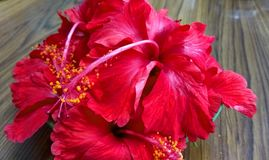 Red Hibiscus florals. Close up click of Red Hibiscus florals in a group royalty free stock photos