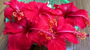 Red Hibiscus florals. Close up click of Red Hibiscus florals in a group placed in a basket royalty free stock photo