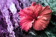 Red hibiscus flower with two tone color filter effect. Spring  nature wallpaper background stock photo
