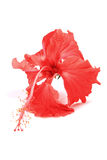 Red Hibiscus Flower Stock Photo