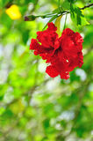 Red Hibiscus Flower. On green background Royalty Free Stock Images