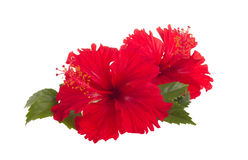 Red hibiscus flower Stock Image