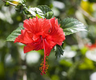 Red Hibiscus Flower Royalty Free Stock Photography