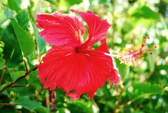 Red Hibiscus Flower. From Guadeloupe Caribbean Royalty Free Stock Photography