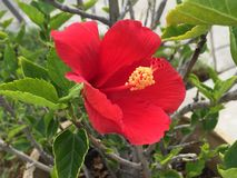 Red Hibiscus. Flower Stock Image