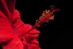 Red hibiscus flower on black background royalty free stock photography