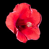 Red hibiscus flower on a black background Stock Images