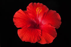 Red Hibiscus Flower on Black Background Stock Photos