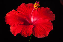 Red Hibiscus Flower on Black Background Stock Image