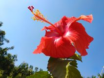Red hibiscus flower on blue sky background royalty free stock photos
