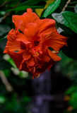 Red Hibiscus Flower. A bright red hanging Hibiscus flower in a tropical garden Royalty Free Stock Photography