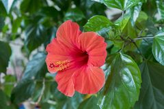 Red hibiscus flower close-up. Red hibiscus flower detail. Close-up of an Hibiscus flower growing on a hibiscus rosa-sinensis shrub. On the Mediterranean island Stock Photography
