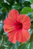 Red hibiscus flower close-up. Red hibiscus flower detail. Close-up of an Hibiscus flower growing on a hibiscus rosa-sinensis shrub. On the Mediterranean island Royalty Free Stock Photography