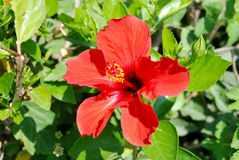 Red hibiscus flower closeup Stock Photos