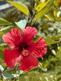 Red hibiscus flower. Exotic flower. Stock Images