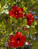 Red hibiscus flower. Exotic flowers in Africa Royalty Free Stock Images