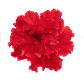 Red Hibiscus Flower. S on white background Stock Images