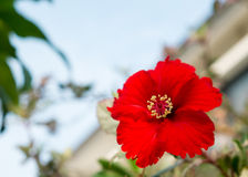 The red Hibiscus flower (Focus on pollen). The red hibiscus flower on blue sky Royalty Free Stock Photos