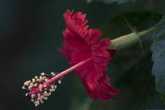 Hibiscus flower closeup highlighting the pistol and pollens. A red hibiscus flower in full bloom photographed in profile showing the pistol and the stamens and royalty free stock photo