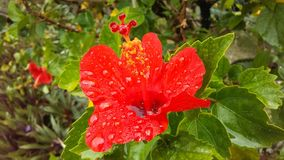 Red Hibiscus Flower Full of Rain Water Blossoming during Rain in Hanalei on Kauai Island, Hawaii. Red Hibiscus Flower Full of Rain Water Blossoming during Rain Stock Photos