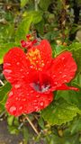 Red Hibiscus Flower Full of Rain Water Blossoming during Rain in Hanalei on Kauai Island, Hawaii. Red Hibiscus Flower Full of Rain Water Blossoming during Rain Stock Image