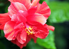 Red hibiscus flower. Stock Images