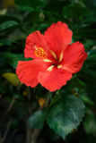 Red Hibiscus flower in garden Royalty Free Stock Photo