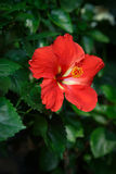 Red Hibiscus flower in garden Stock Photos