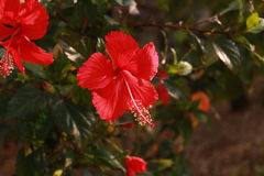 Red Hibiscus Flower Stock Photography