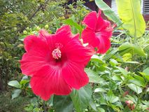Red hibiscus flower. In garden Stock Photography