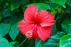 Red hibiscus. Stock Image