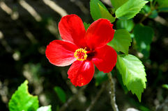 Red hibiscus flower Stock Images