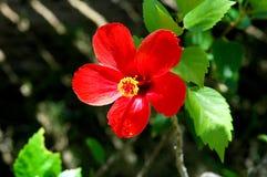 Red hibiscus flower. In the garden in Cuba Stock Images