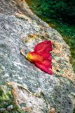 Red Hibiscus Flower on Granite Rock stock photography