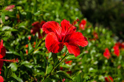 Red hibiscus flower Royalty Free Stock Images