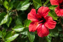 Red hibiscus flower on a green blurred background. Selective focus stock photography