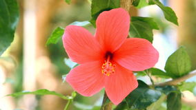 Red hibiscus flower. With green leaves stock video footage