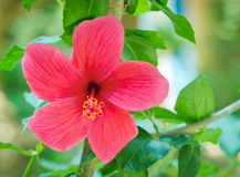 Red hibiscus flower with green leaves Royalty Free Stock Photography