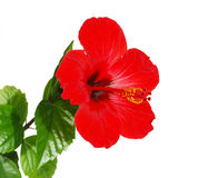 Red Hibiscus flower head Royalty Free Stock Image