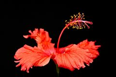 """Red Hibiscus flower """"Hibiscus rosa-sinensis"""" macro close-up photo on black background. Red Hibiscus flower """"Hibiscus rosa-sinensis"""" macro close Royalty Free Stock Photo"""