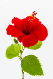 A red hibiscus flower isolated Stock Image