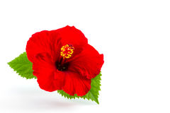 A red hibiscus flower isolated. Royalty Free Stock Image