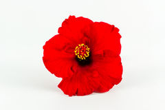 Red hibiscus flower isolated. Royalty Free Stock Image