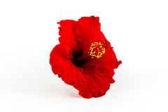 A red hibiscus flower isolated. Royalty Free Stock Photography