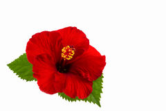A red hibiscus flower isolated. A red hibiscus flower isolated on white background Stock Photos