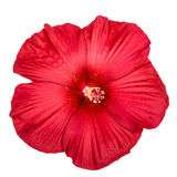 Red hibiscus flower, isolated on white background Stock Photography